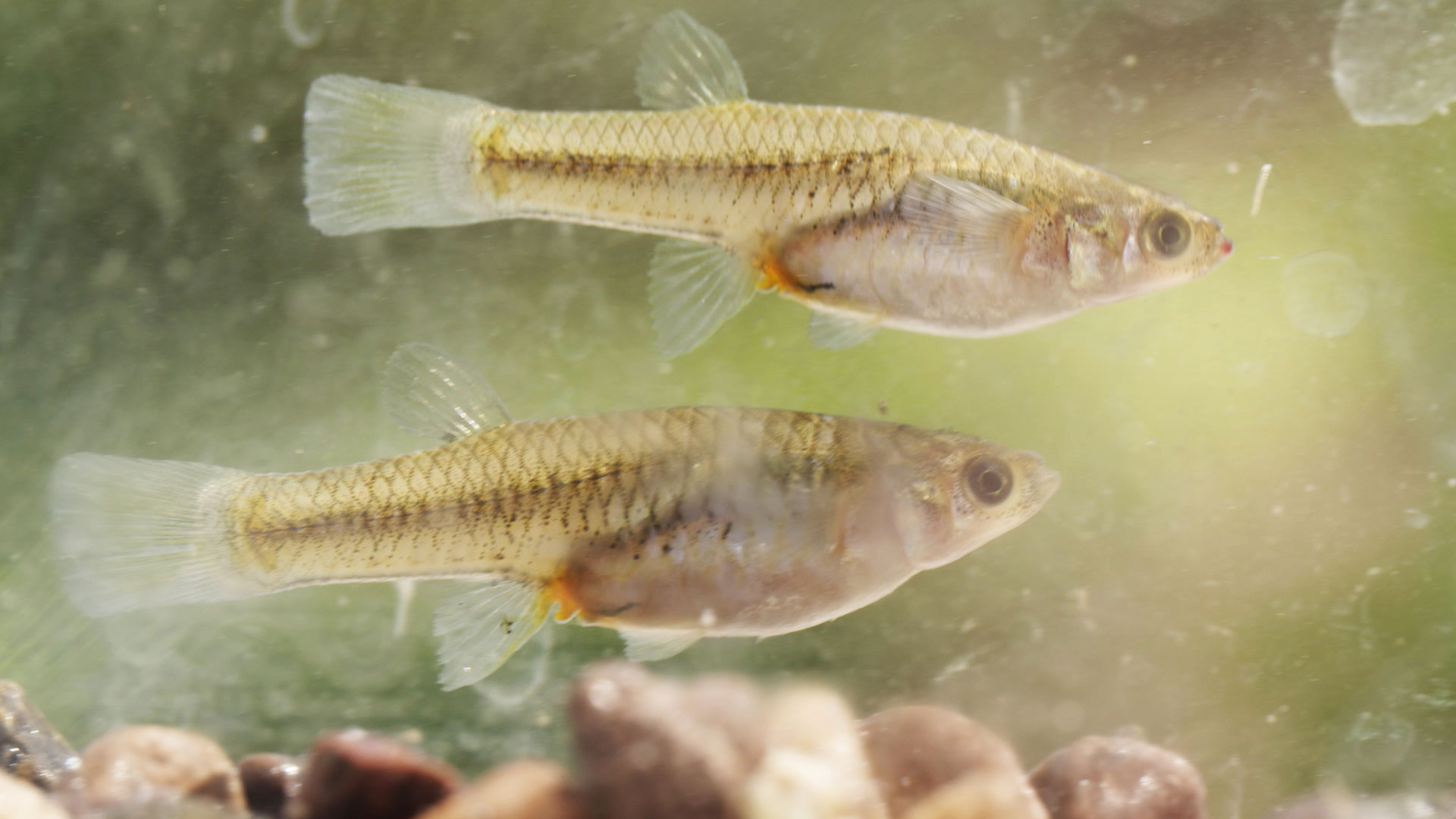 Female Gila topminnows (pictured here) grow to approximately 2 inches and males are about half as big.