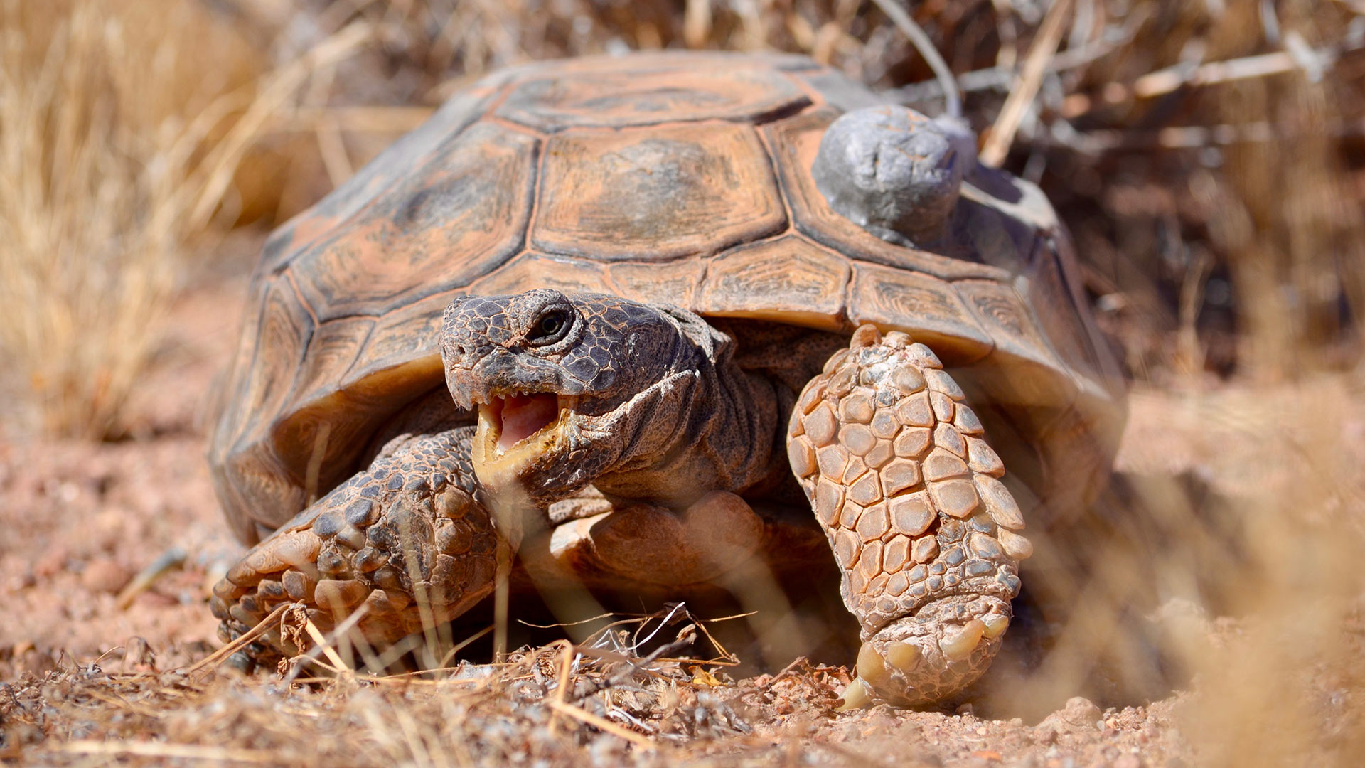 Some tortoises are fitted with small GPS devices. This allows researchers to monitor travel patterns, as well as an animal's overall health.
