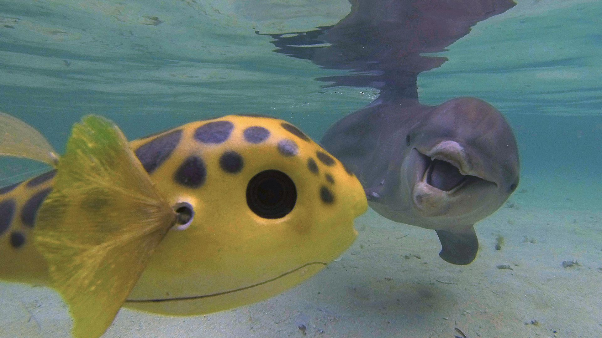 Spy Pufferfish 1 and bottlenose dolphin