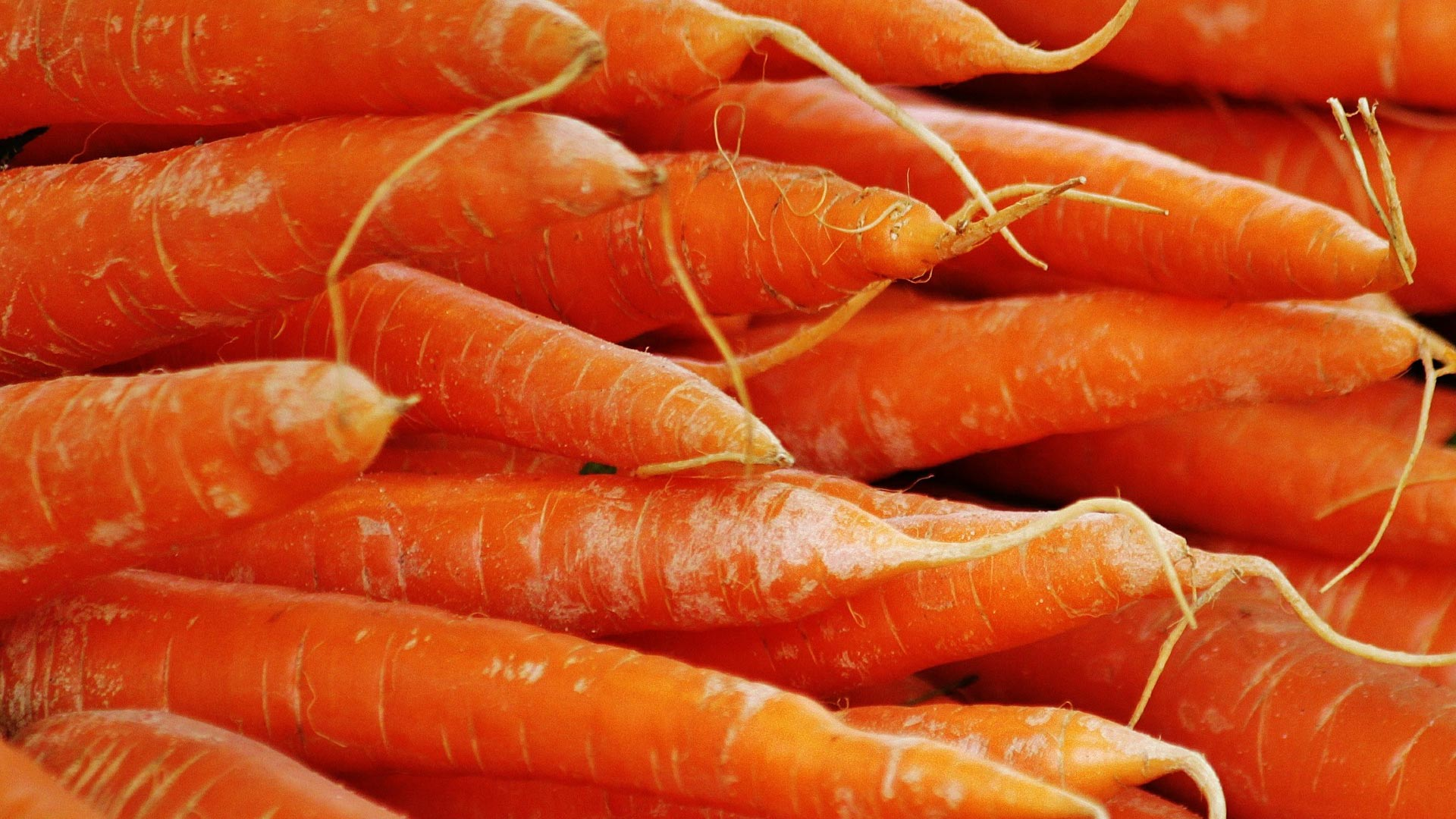Fresh carrots ready to be washed.