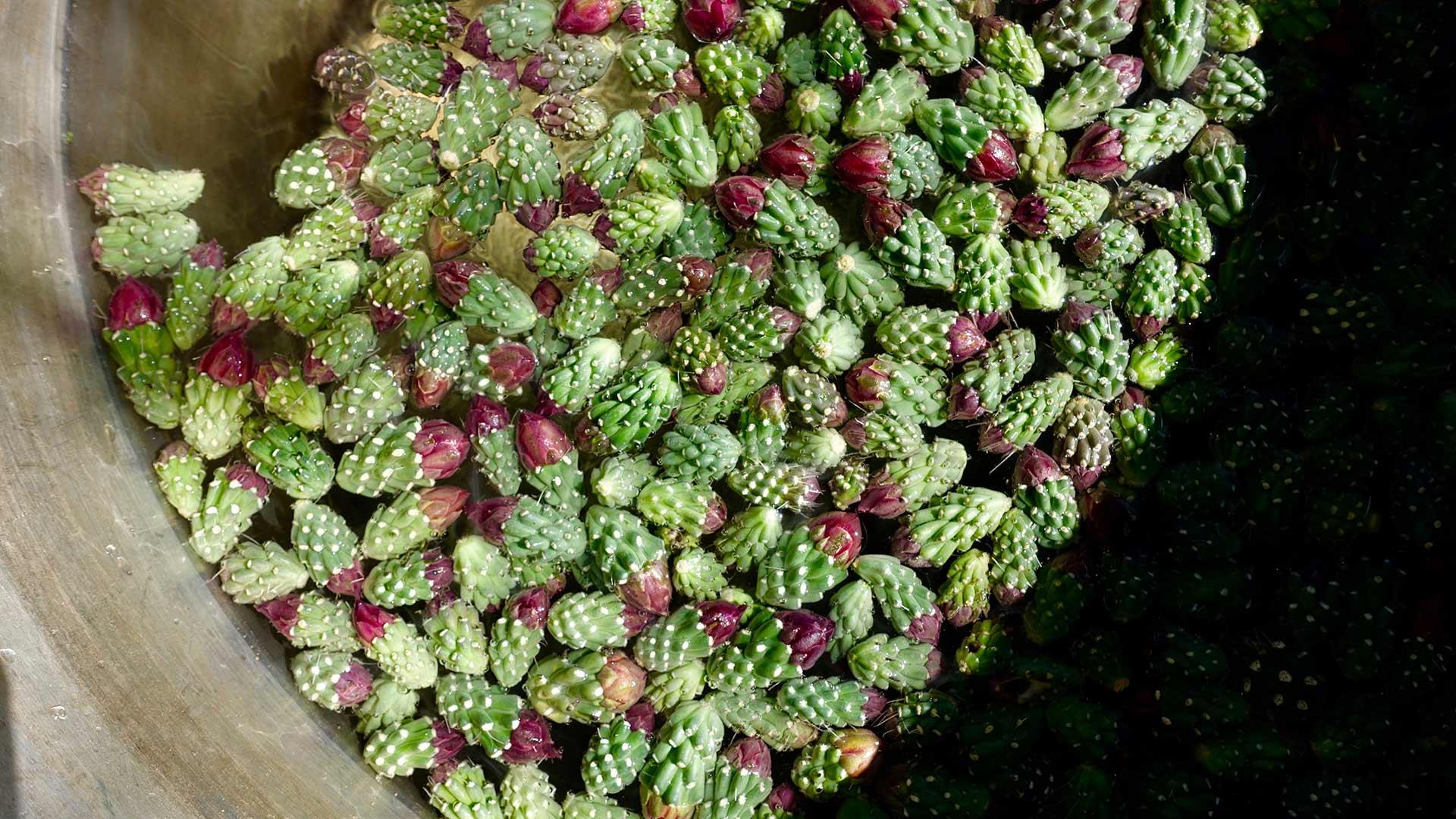 Cholla bud harvest 4