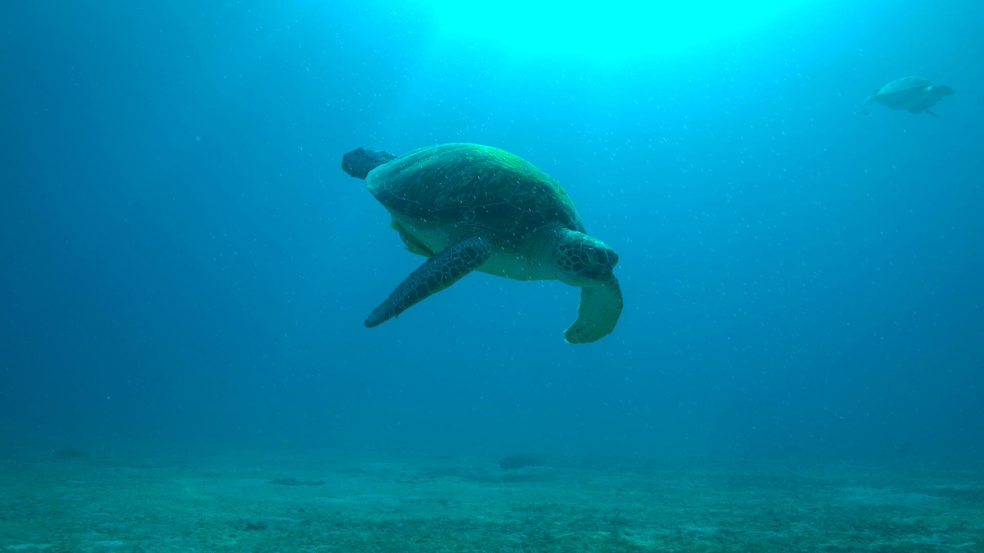 Green sea turtle diving at Coron, Palawan, Philippines.