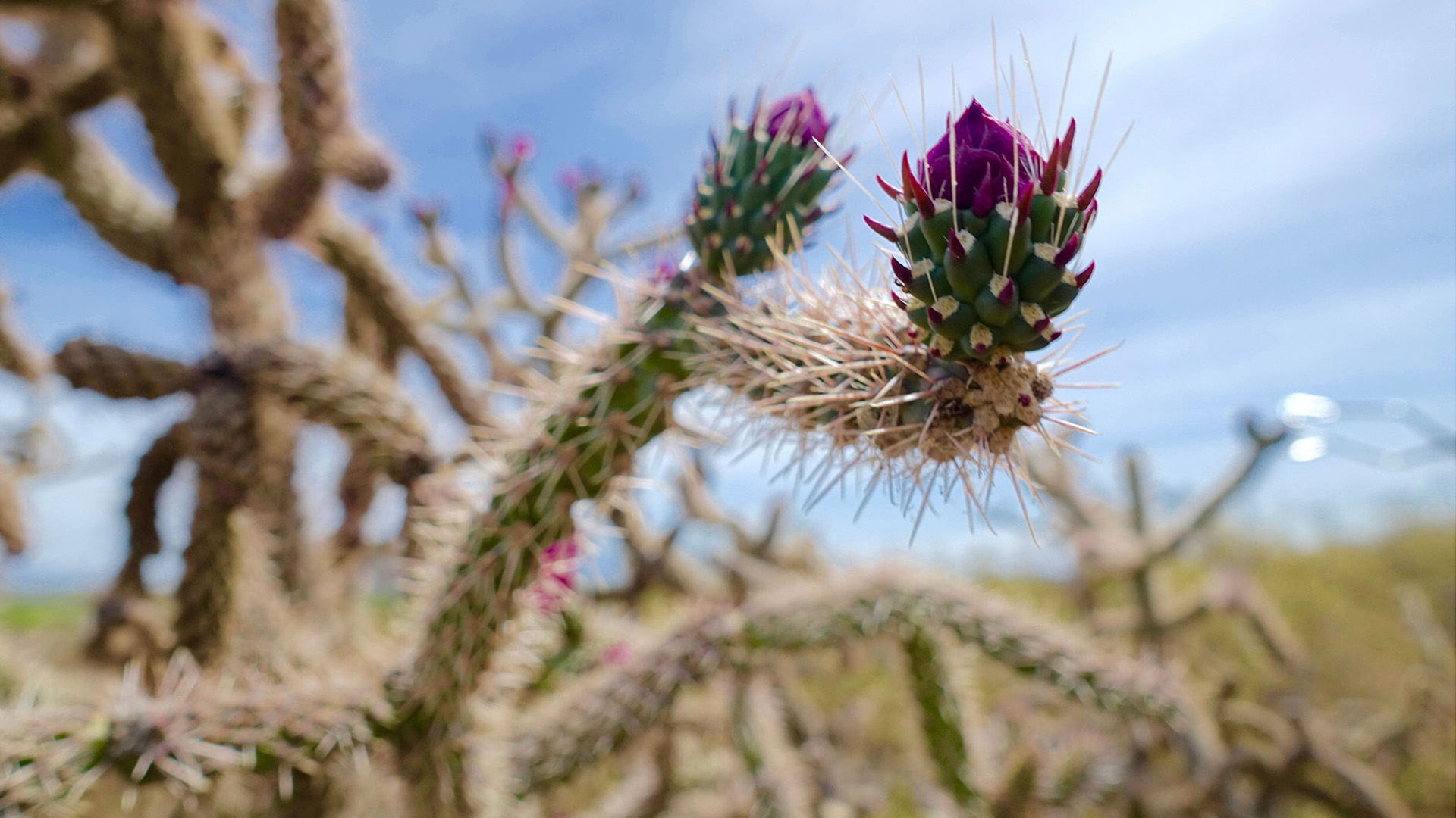 A cholla bud, ready for harvest.