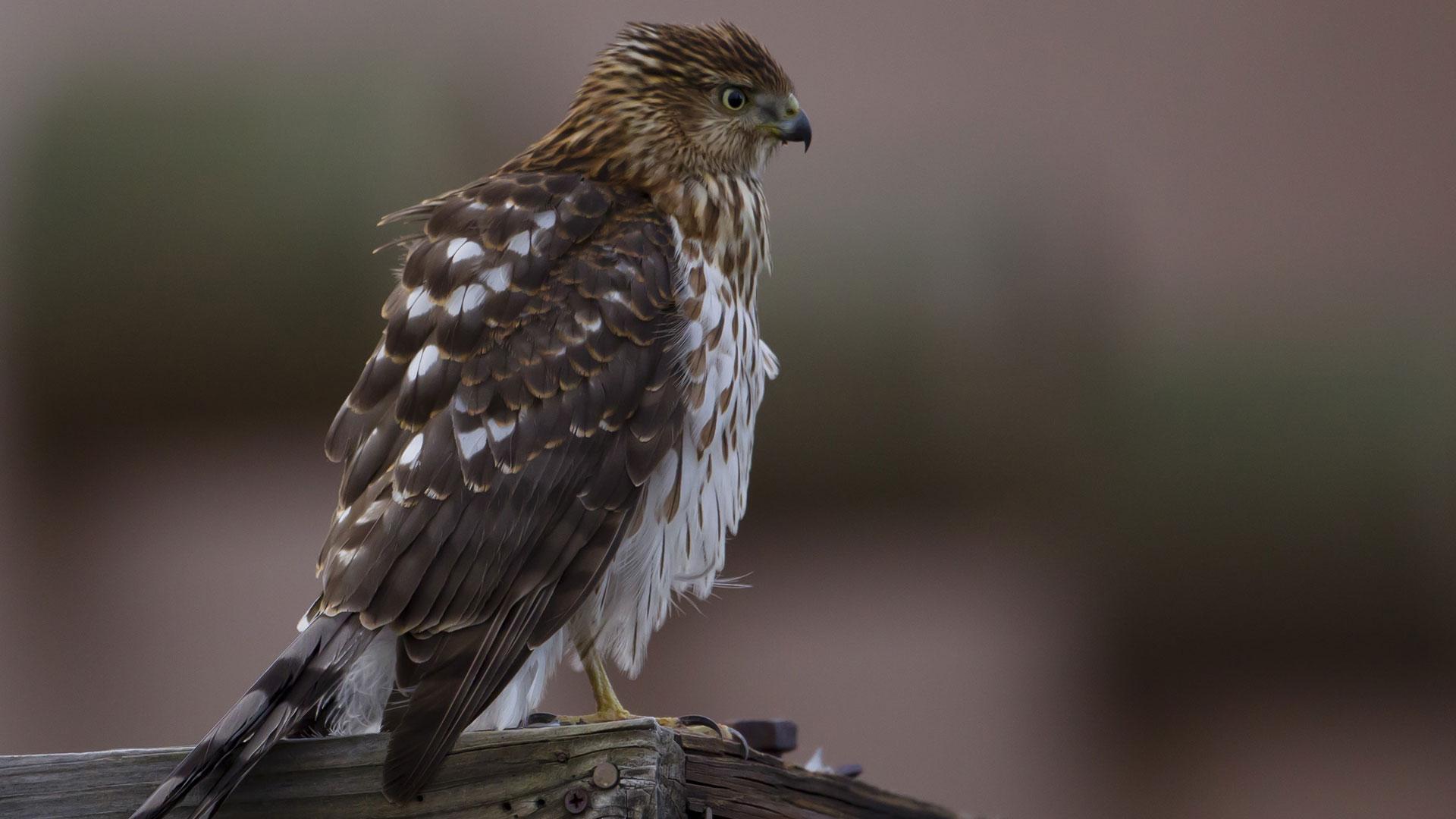 A juvenile Cooper's hawk.