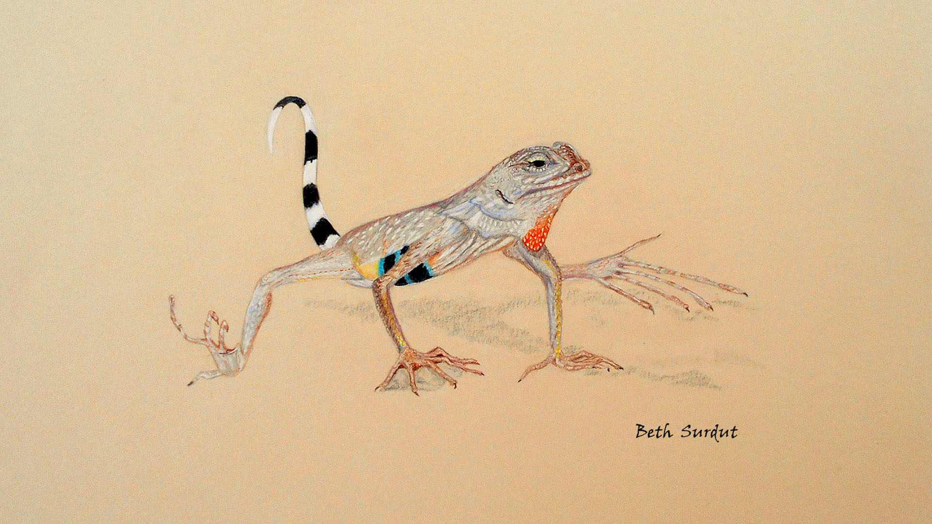 beth surdut zebra tailed lizard illustration hero