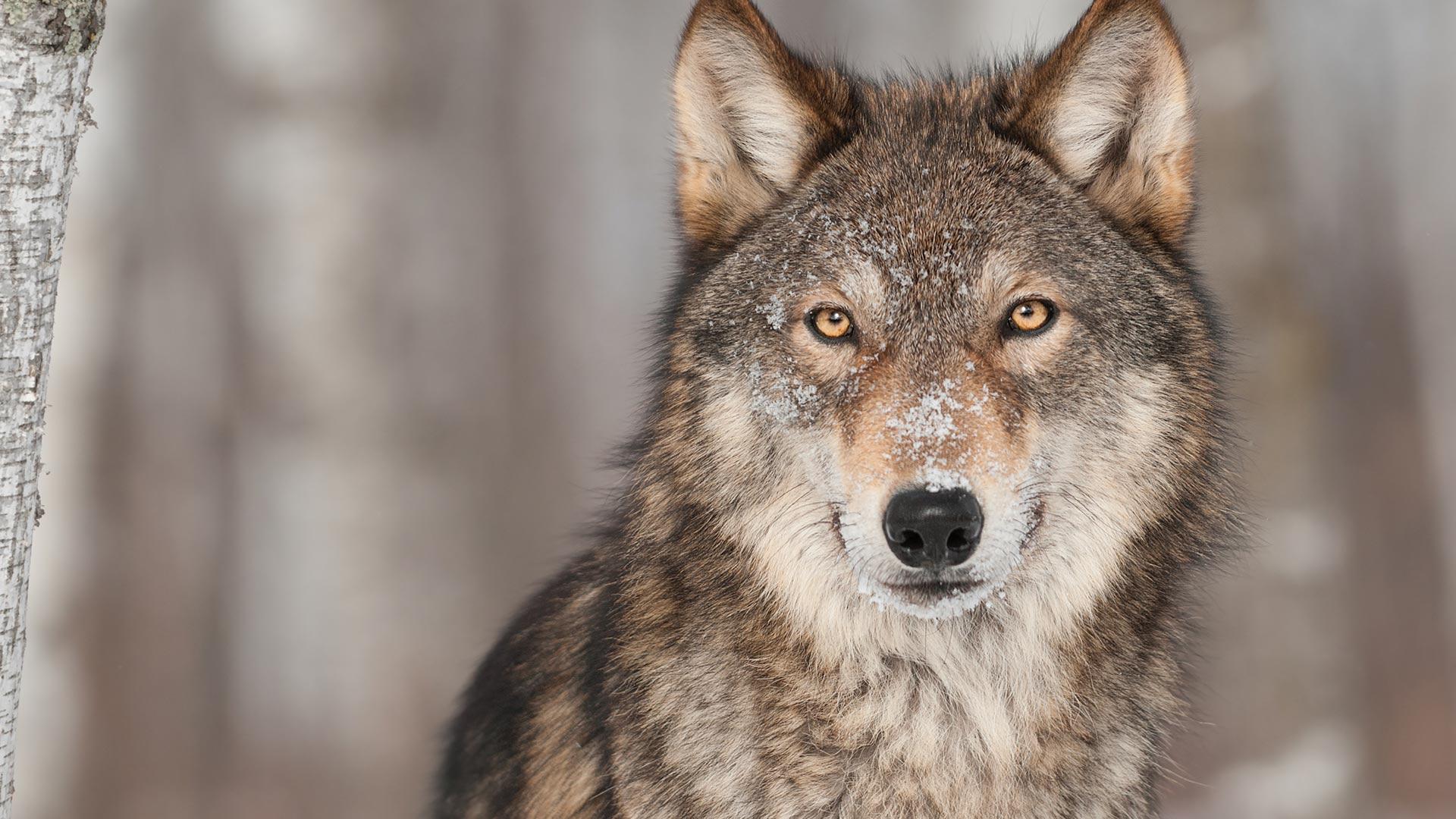 Wolf - canis lupus portrait