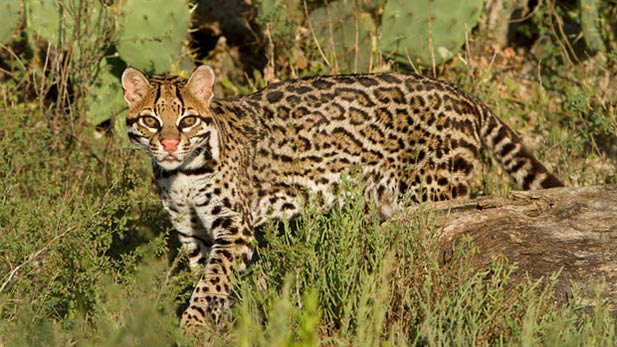 A study will look at whether a predator-prevention program threatens ocelots in Arizona and Texas.