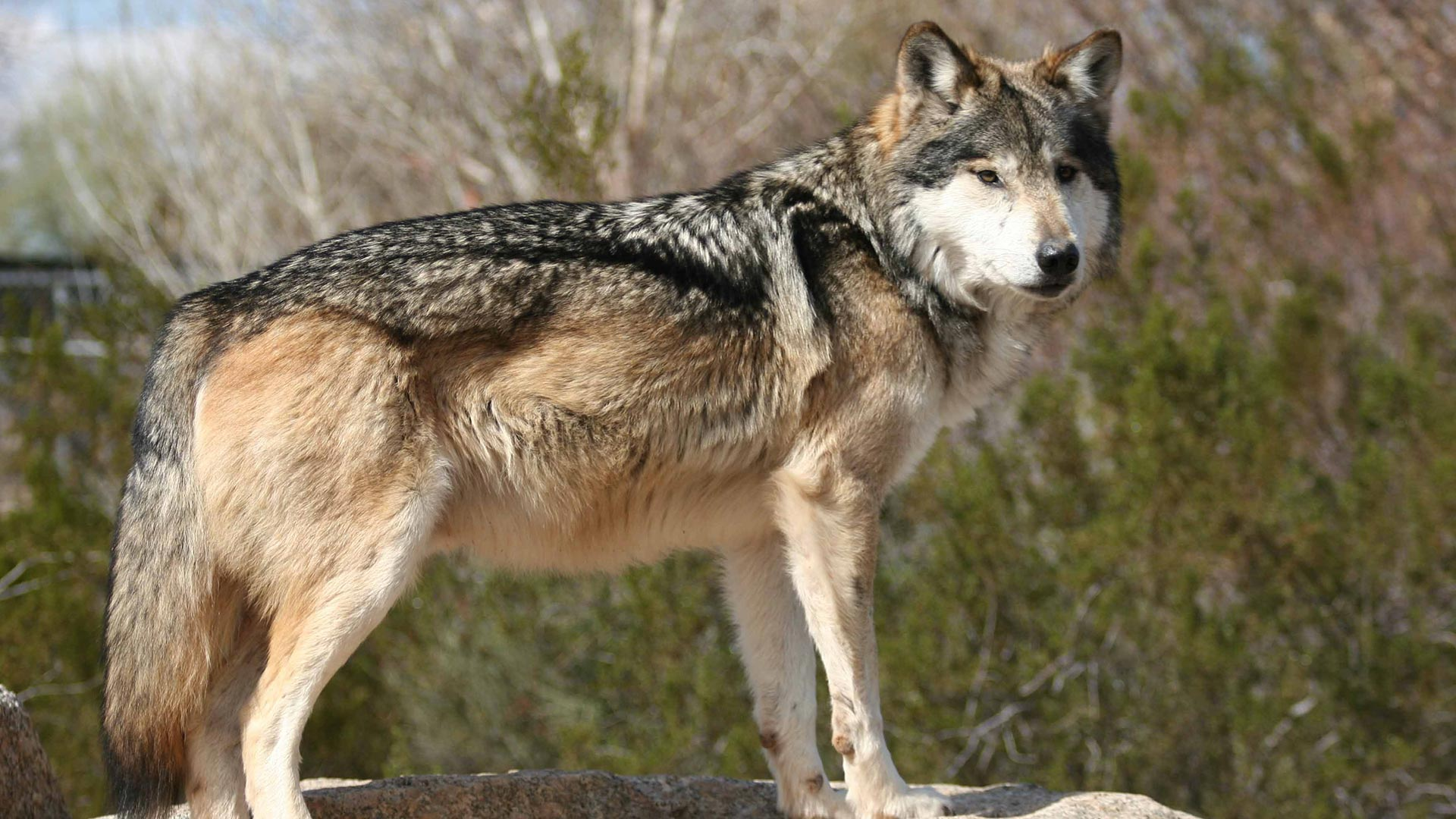 Mexican gray wolf hero 2