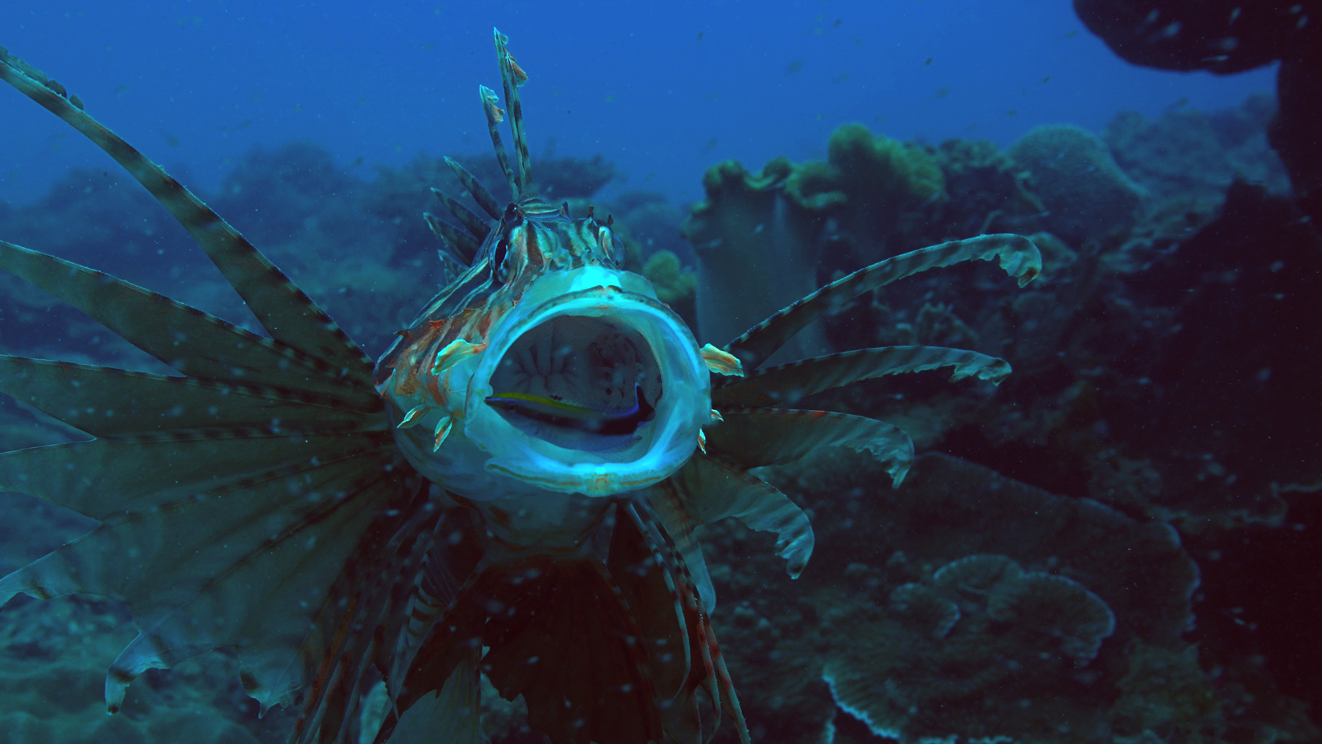 Bluestreak wrasse cleaning lionfish mouth at Kenting, Taiwan.