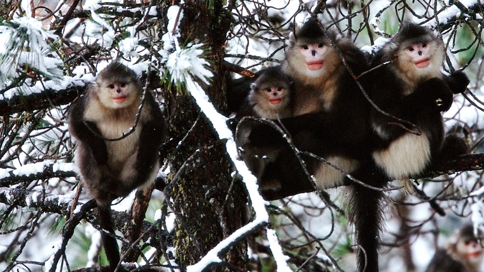A small family, sub-nosed monkey, Rhinopithecus bieti, China.