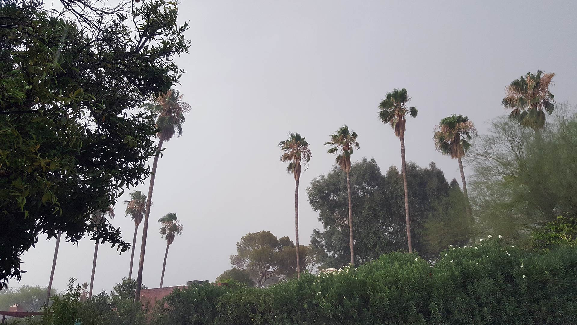 Strong winds from an afternoon storm affect some palm trees in midtown Tucson.