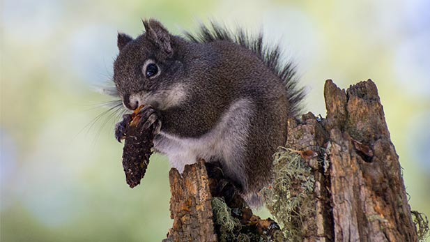 A Mount Graham Red Squirrel.