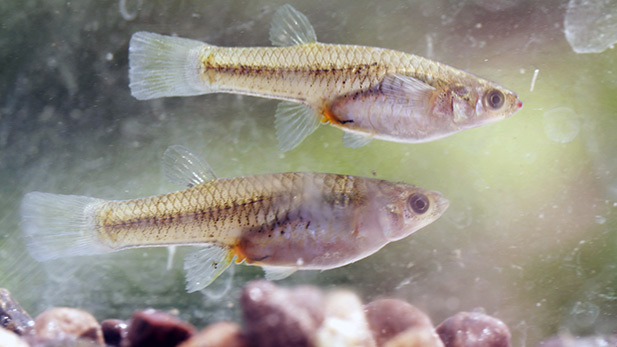 Two Gila Topminnows.