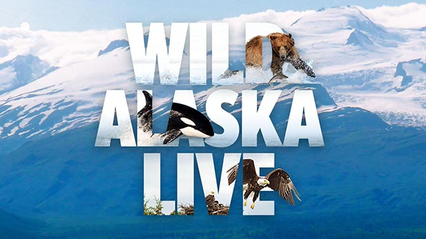 A must-see natural spectacle as thousands of the world's wildest animals gather to take part in Alaska's amazing summer feast.
