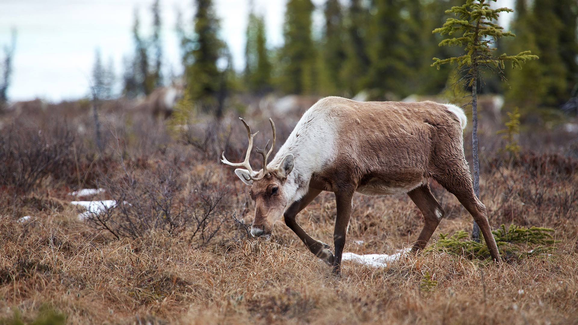 A female caribou moving through Ivvavik National Park in Canada on its spring migration