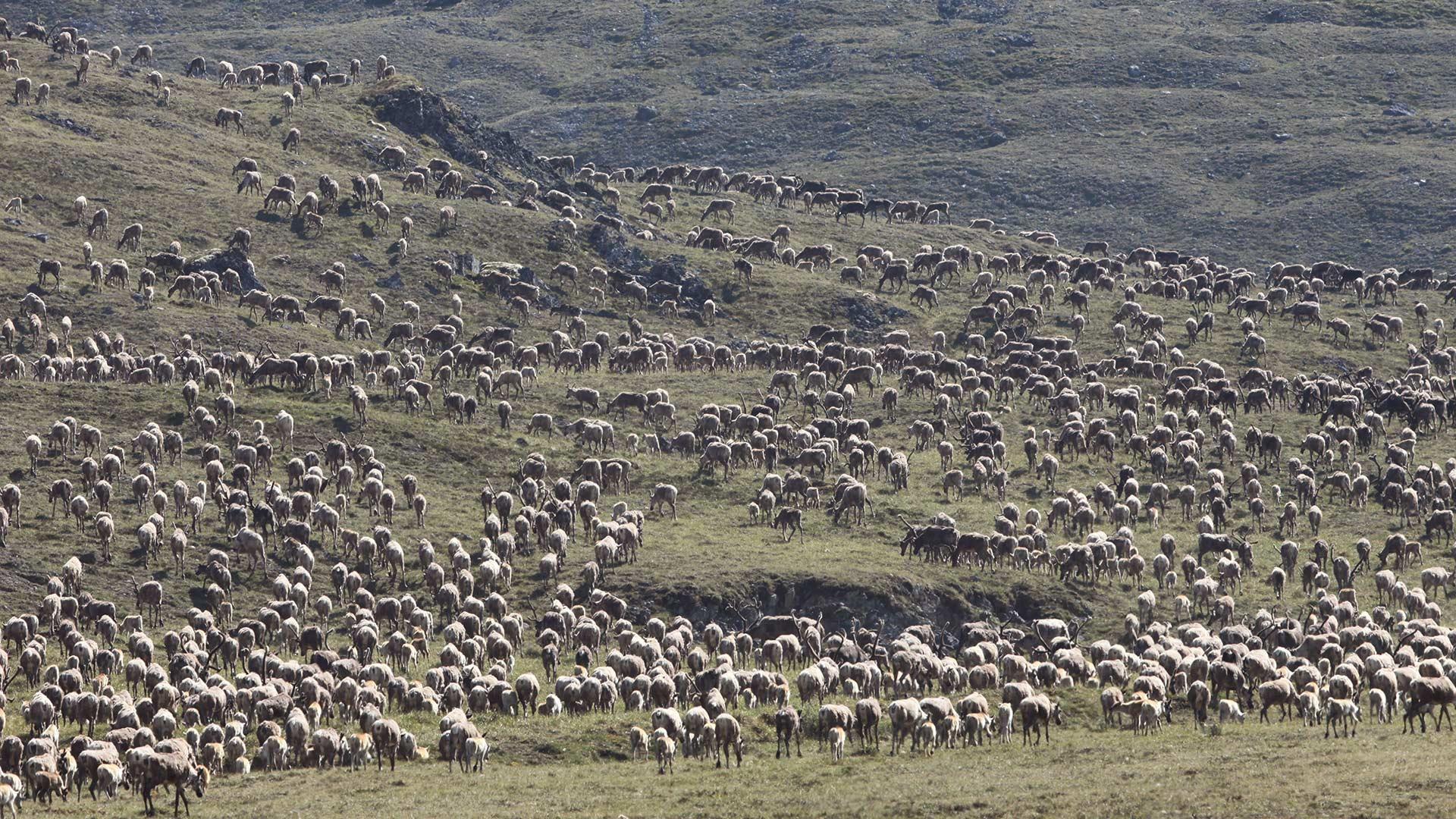 Nature's Great Race caribou herd hero