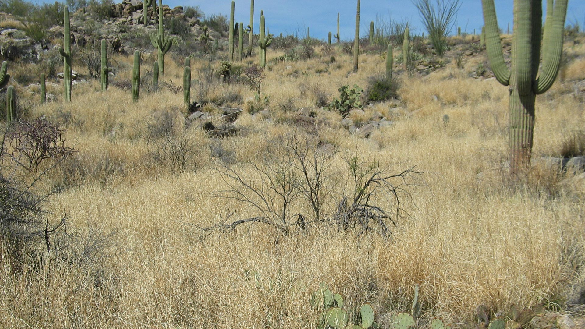 Buffelgrass Saguaro National Park hero