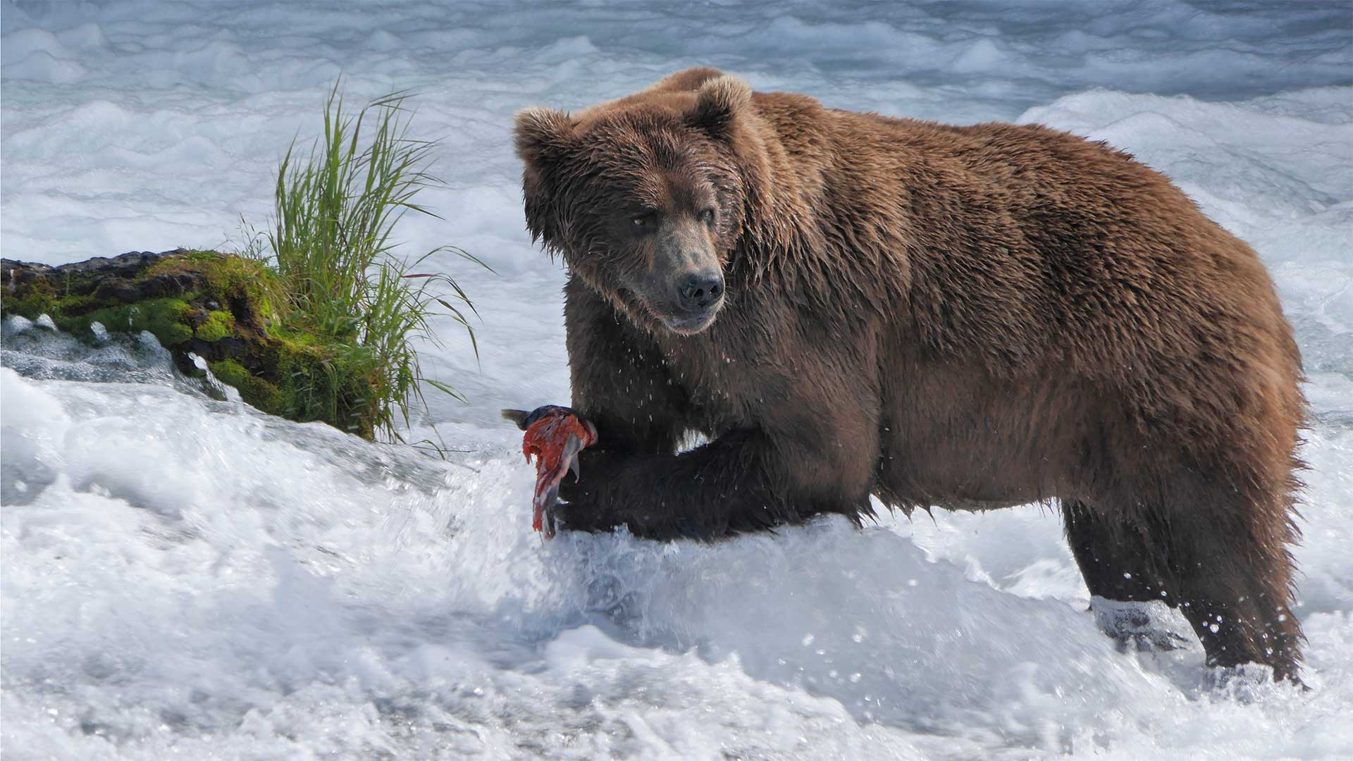 Brown bear catching salmon in Brooks Falls Katmai National Park and Preserve, Alaska.