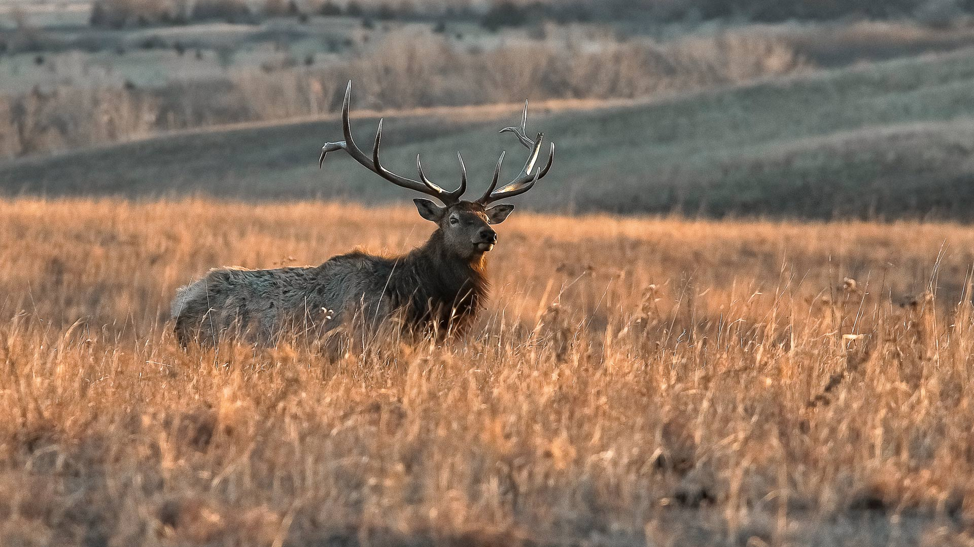 A North American Bull Elk rests in a field.