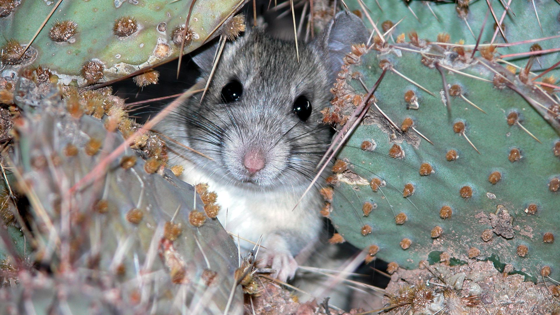 Packrat in cactus hero