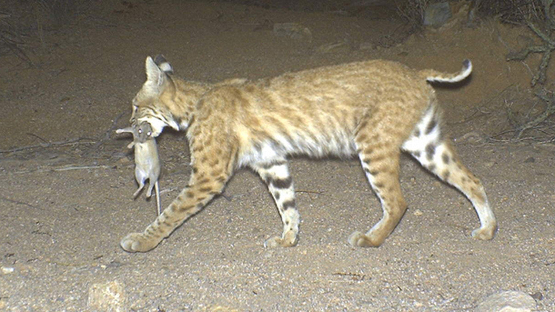 Bobcat with pack rat