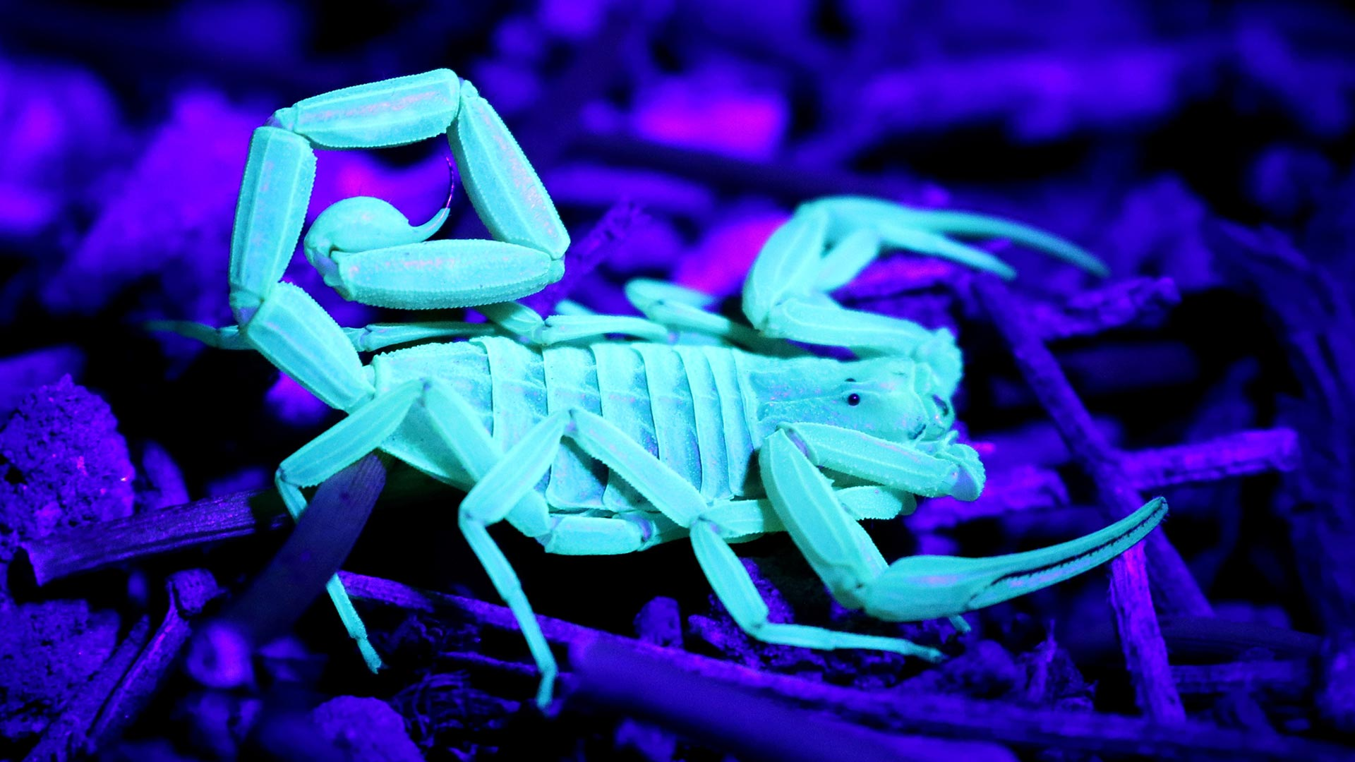 Bark scorpions glow white under a black light.