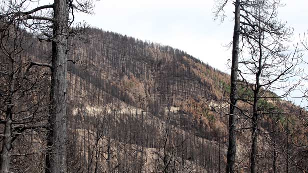 Trees burned by the Frye Fire in 2017.