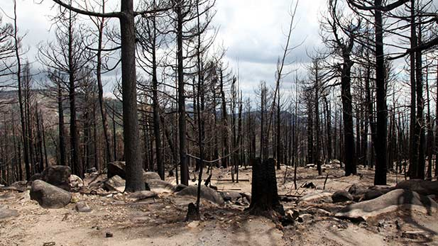 The remains of trees burned by the Frye Fire in 2017.