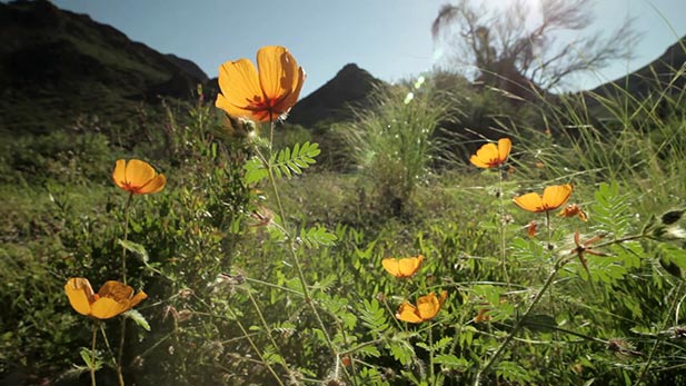 Arizona Summer Poppy
