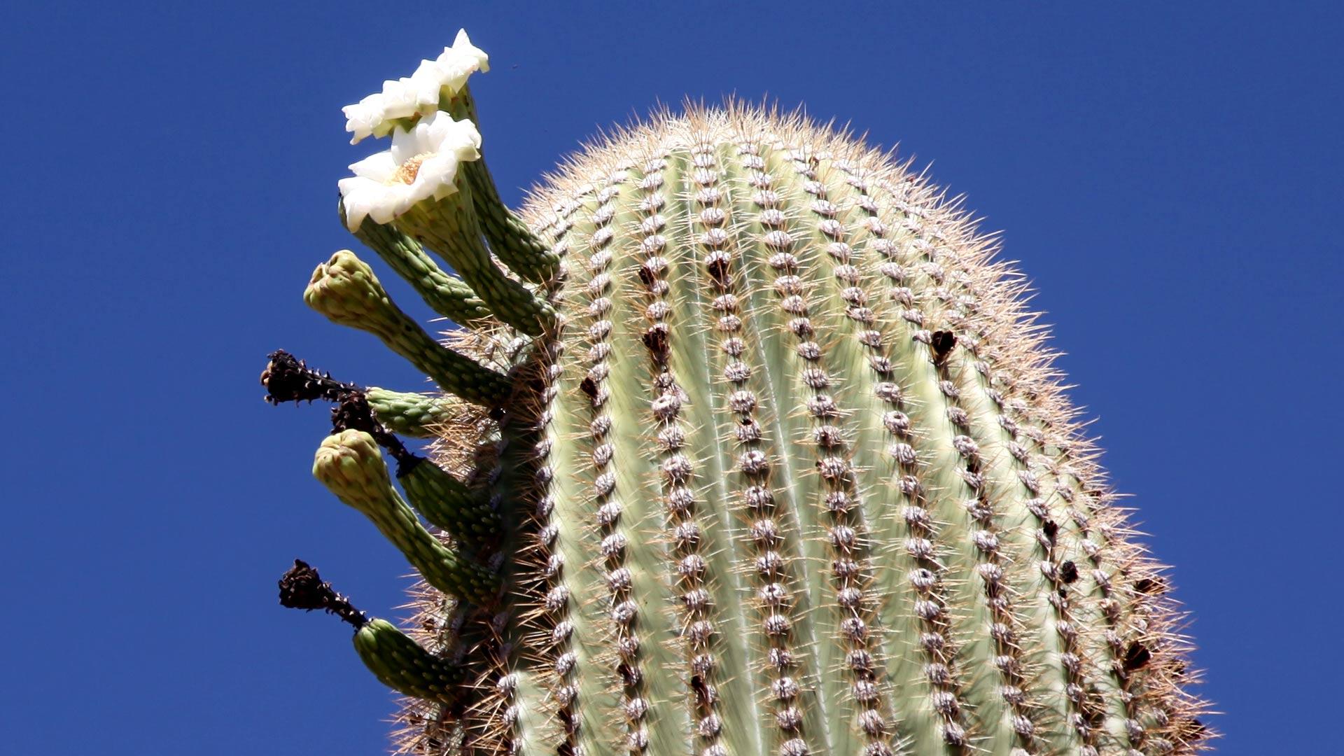 A saguaro cactus flower blossom.