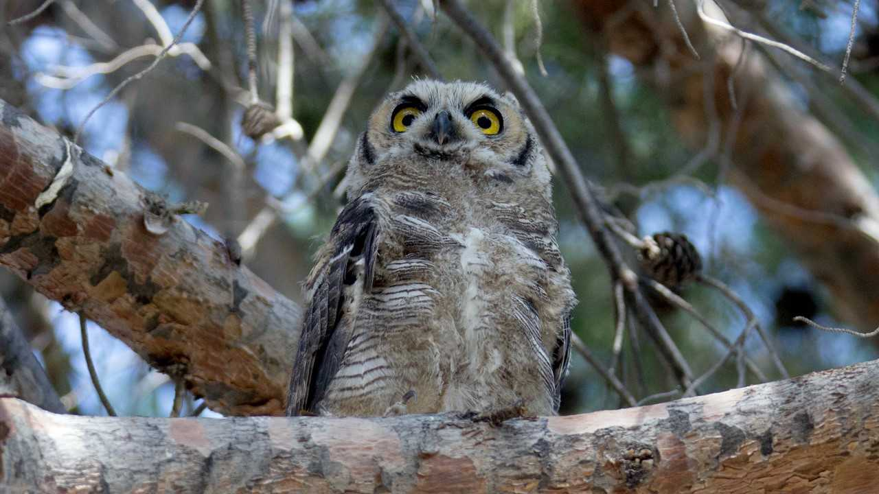 HoHum, the Great Horned Owl as a fledgling.