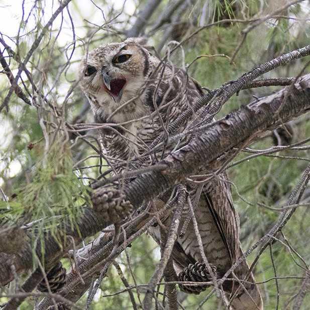 hohum owl series 2