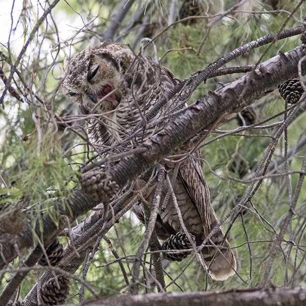 hohum owl series 3