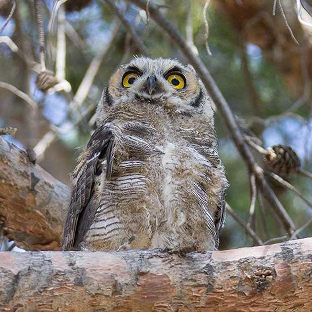 hohum owl series 4