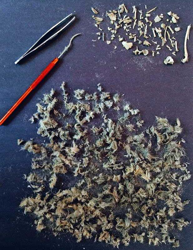 dissected owl pellet unsized image