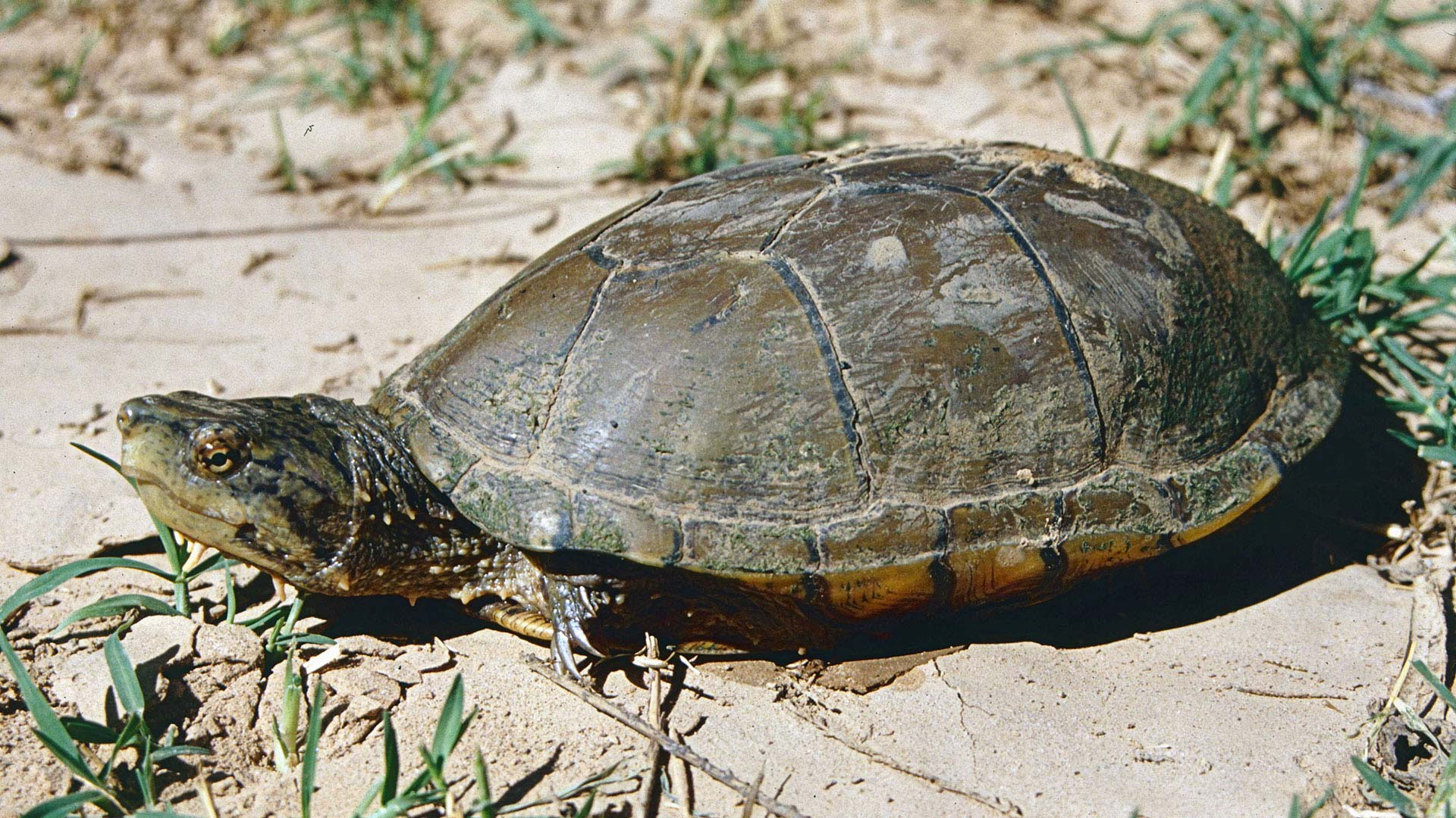 The US Fish and Wildlife Service says the Sonoyta mud turtle is in danger of going extinct. There are five known populations, one is Arizona and four in Sonora.