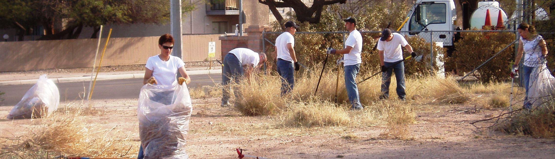 Buffelgrass volunteers