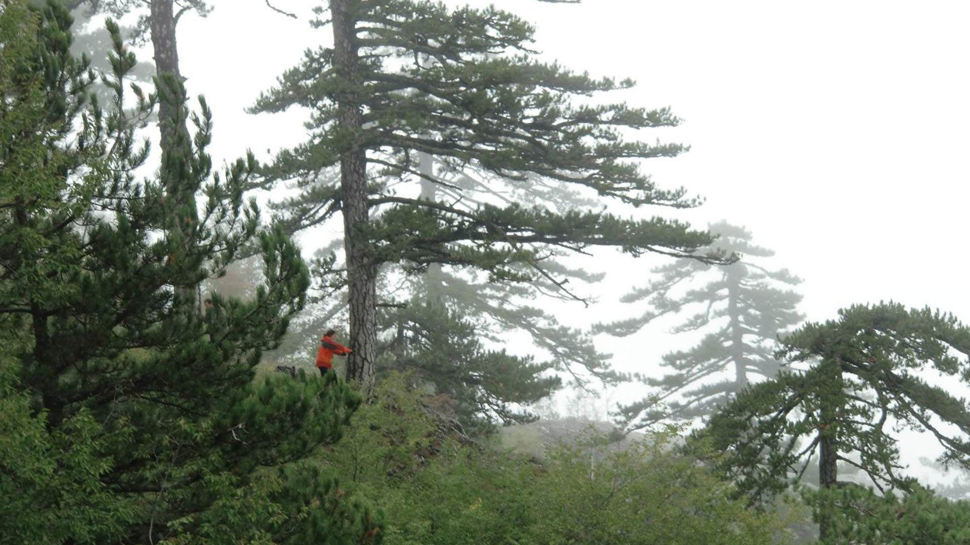 University of Arizona tree-ring scientist Valerie Trouet taking a pencil-thin core from an old Bosnian pine  growing on Mount Olympus in Greece.