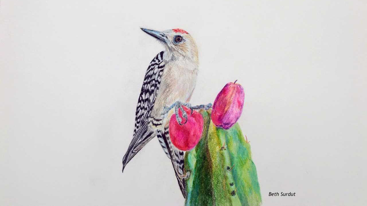 Gila woodpecker claims a cactus fruit -- original wildlife illustration.