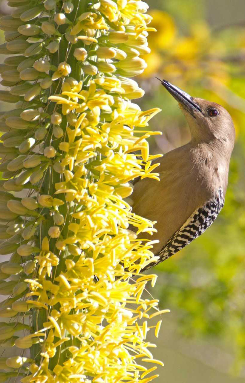gila woodpecker tasting octopus agave unsized body image