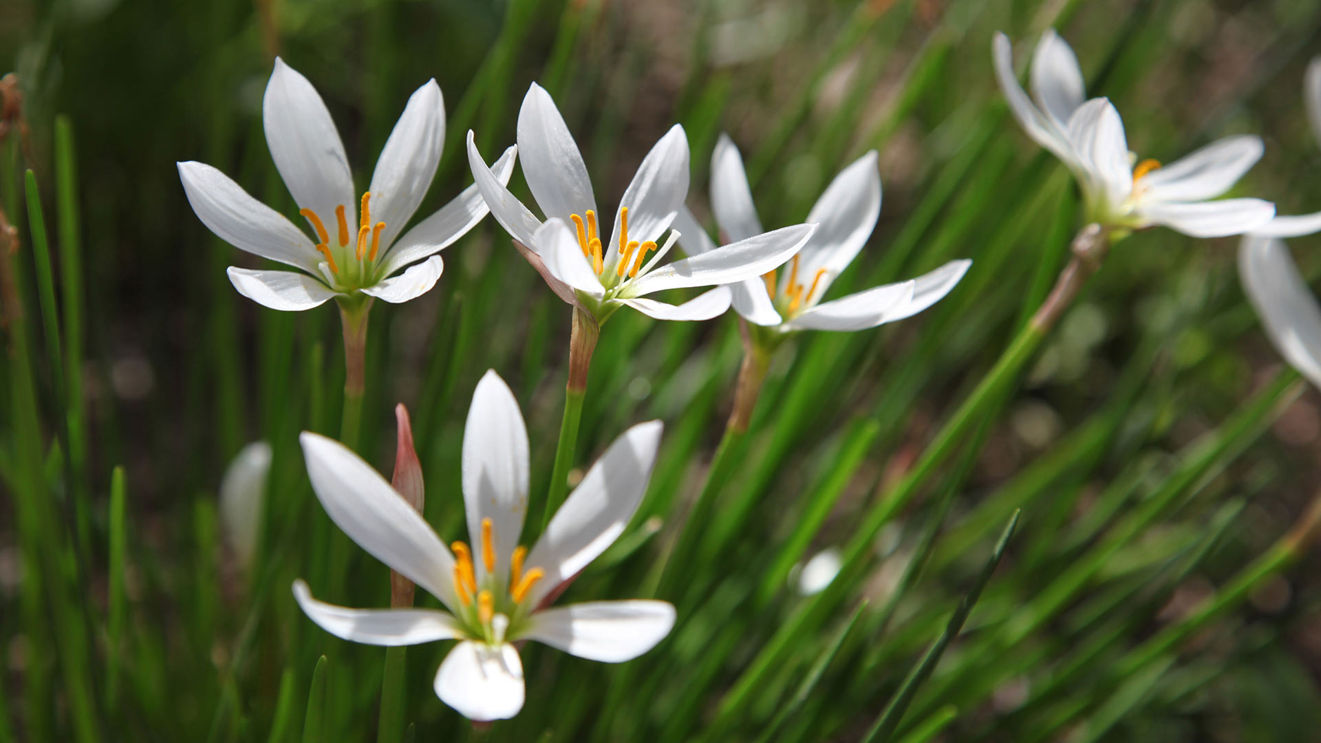 The rain lily is one of the many flowers that can grow well in many Arizona gardens.