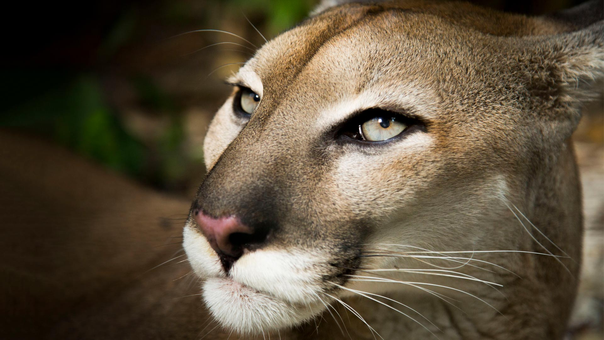 Pumas (Puma concolor) are the widest ranging mammal in the Americas, thanks to extraordinary adaptability and an eye for opportunity.