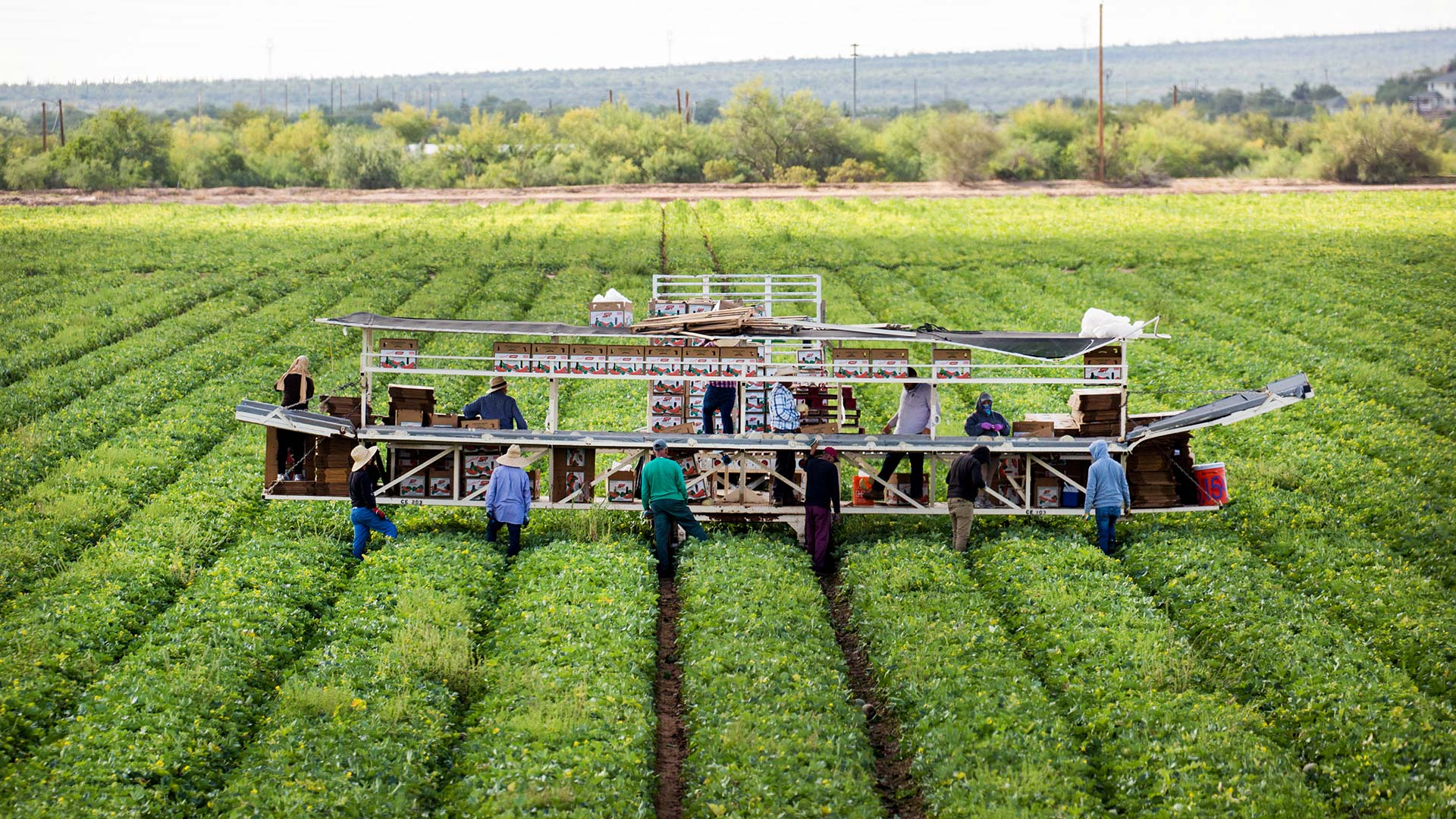 Field workers harvest cantaloupes in a field irrigated with CAP water on Oct. 23, 2018, in Maricopa, Arizona.