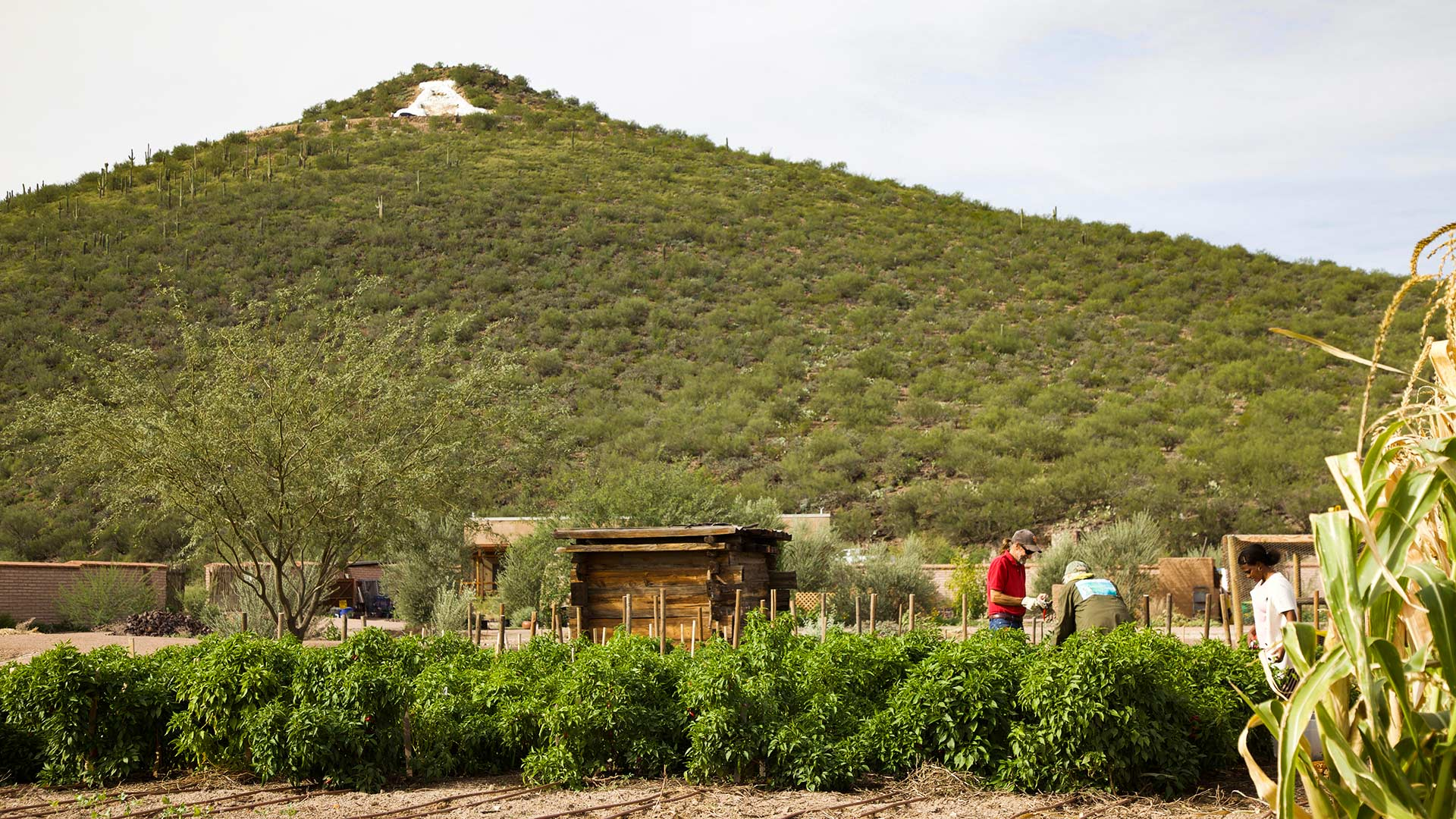 Volunteers at work in the Mission Garden, at the base of Sentinel Peak, November 2018.
