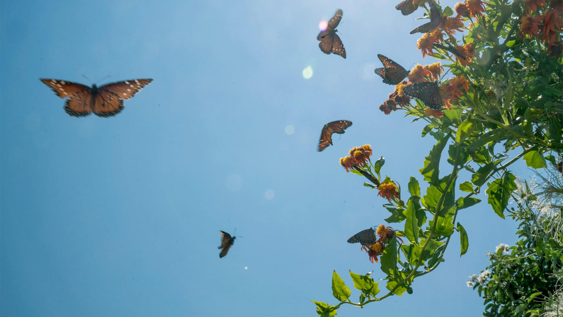 Butterflies swarm a flowering plant at the National Butterfly Center, a 100-acre wildlife center and botanical garden in Hidalgo County, Texas.