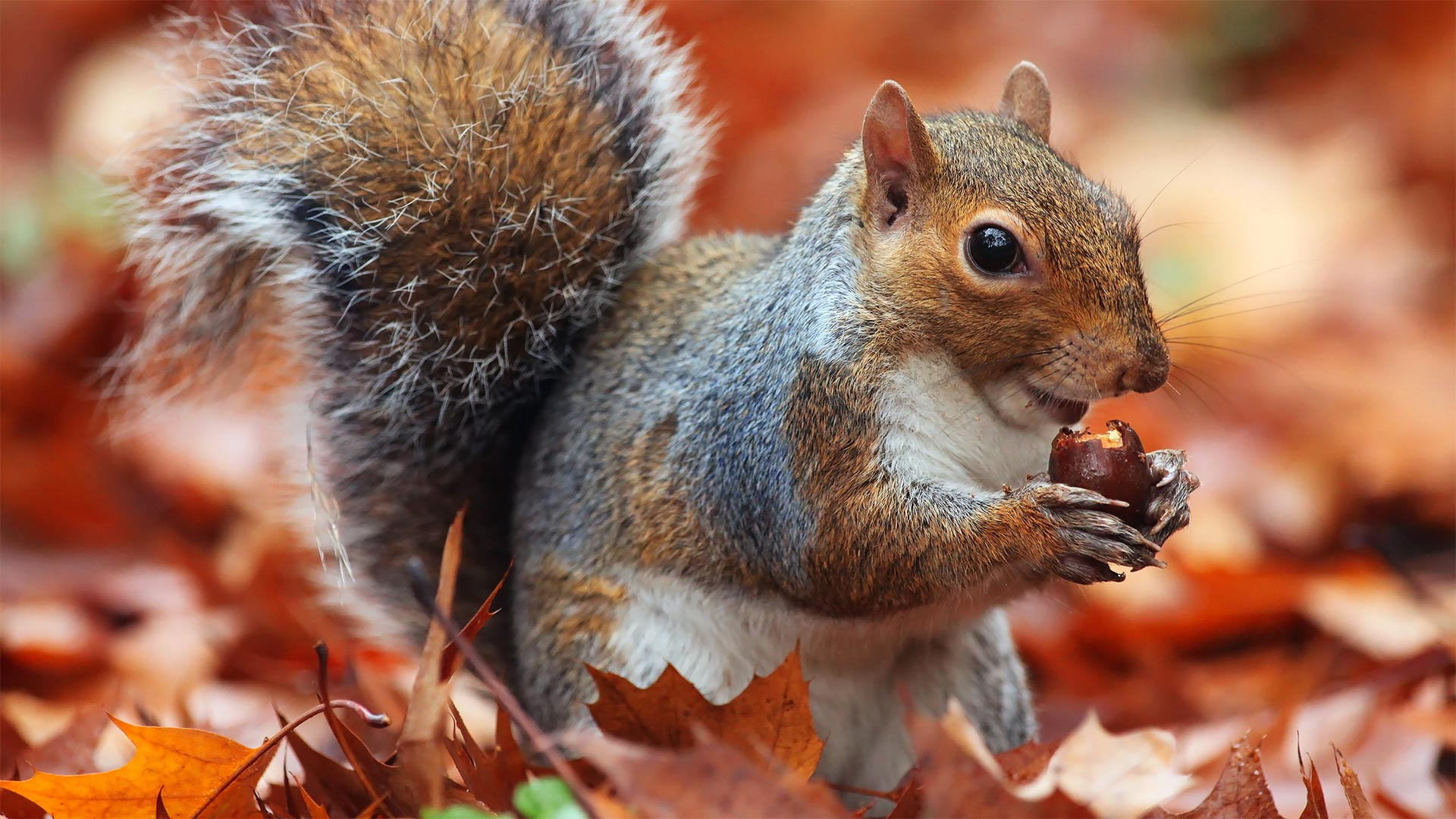 The fox squirrel is the largest tree squirrel species in North America.