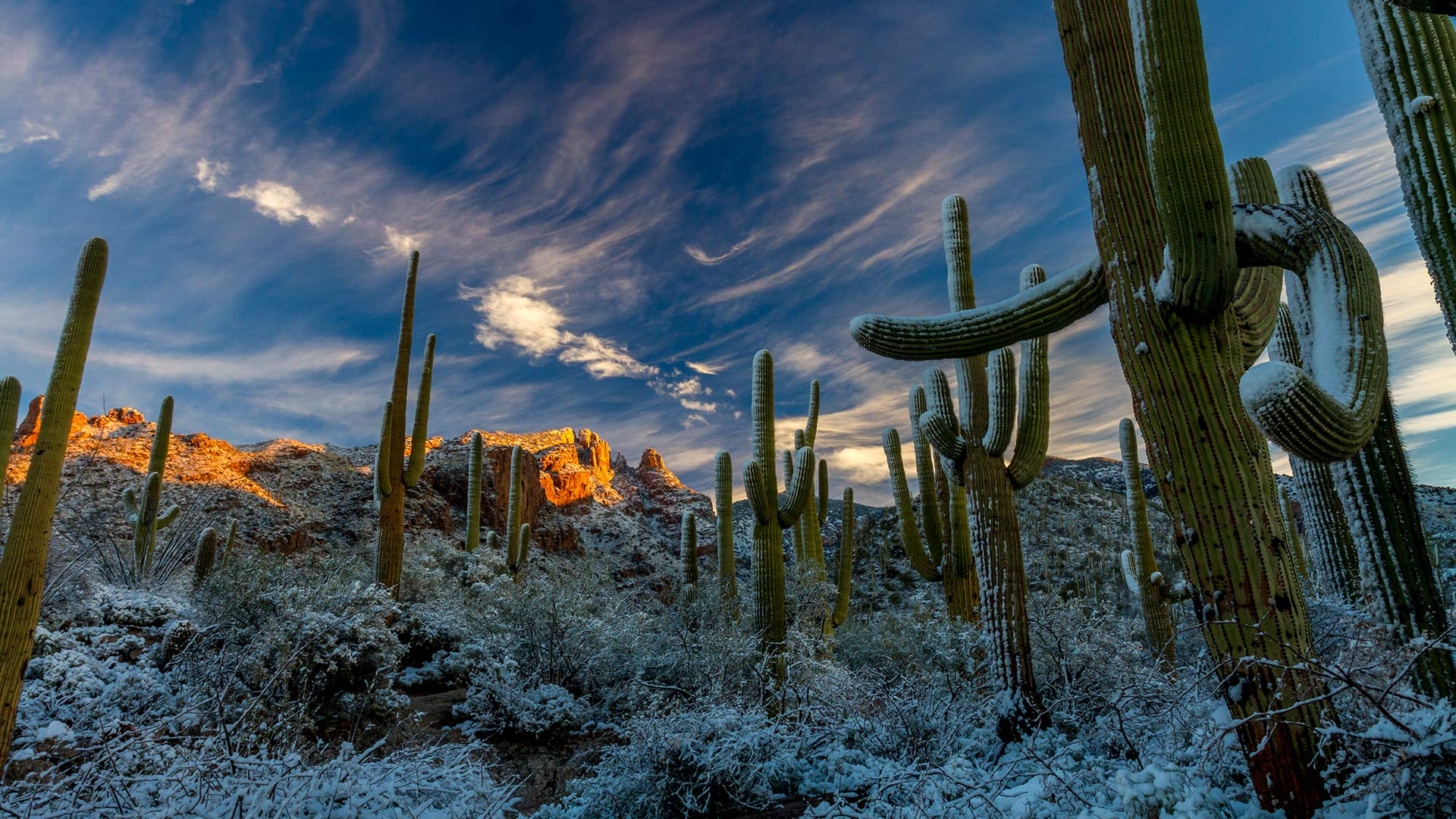 Rare desert winter snow on saguaro cactus in the Catalina Mountains.