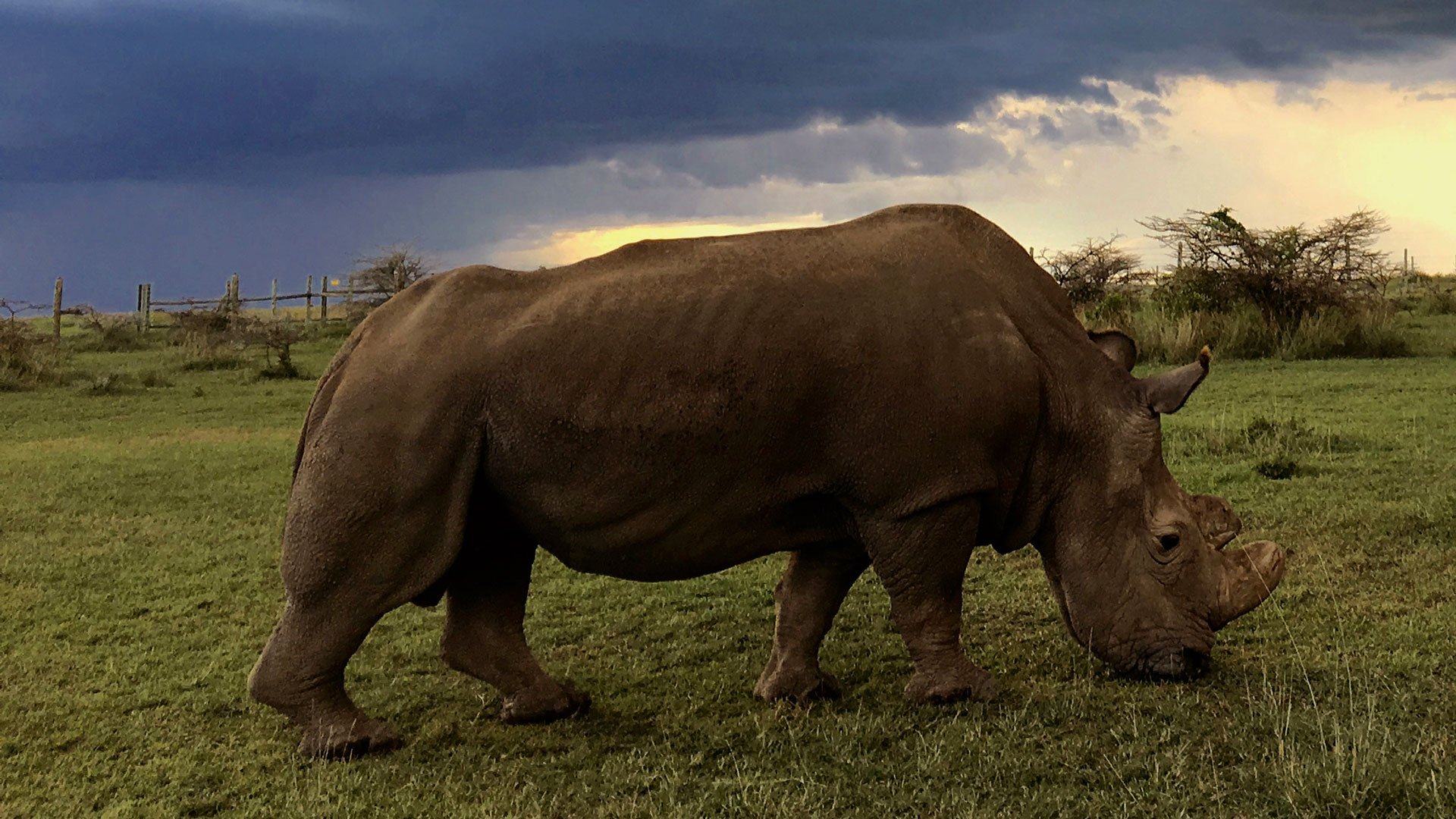 Sudan, last male northern white rhino, living in a Kenyan sanctuary under 24-hour armed guard.