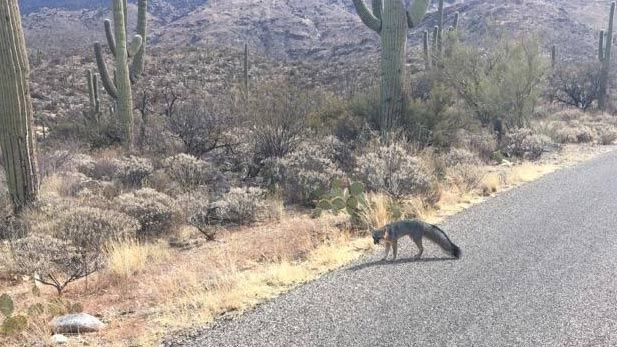 This photo distributed by Arizona Game and Fish shows a possibly rabid fox that injured three people in Saguaro National Park East on February 13, 2018.