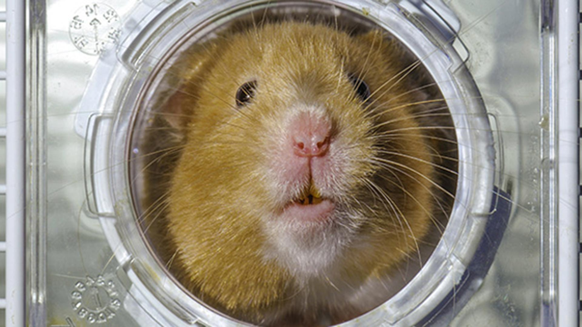 Golden hamster peering out of its play tunnel.